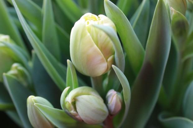 picking_tulips 068