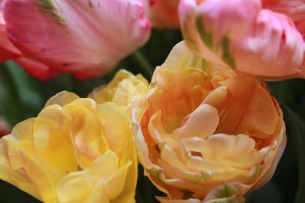 picking_tulips 069