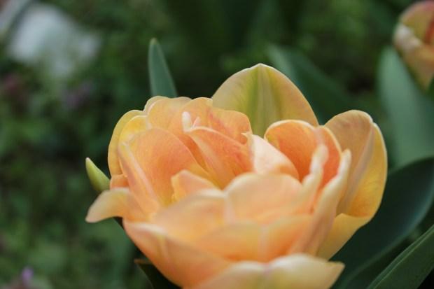 picking_tulips 070