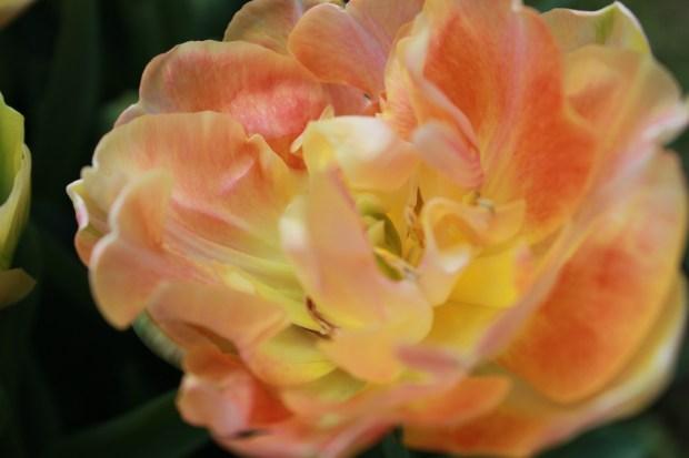 picking_tulips 072