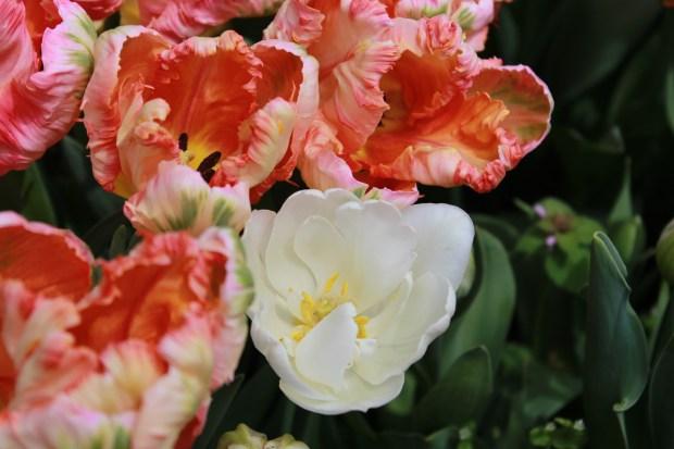 picking_tulips 079
