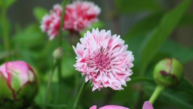 pink_arrangement 042