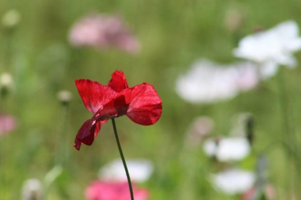 poppy 024