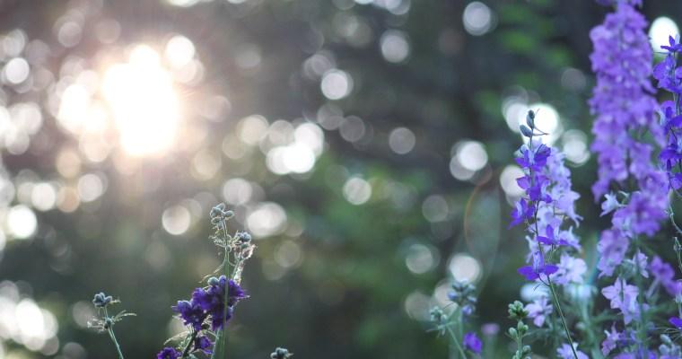 How to Grow Larkspur in Zone 6b/7 – Ornamental Cut Flower Gardening