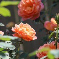 'Lady of Shalott' David Austin Roses - Growing Cut Flowers