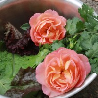 Winter Sowing Roses from Seeds in Zone 6/7