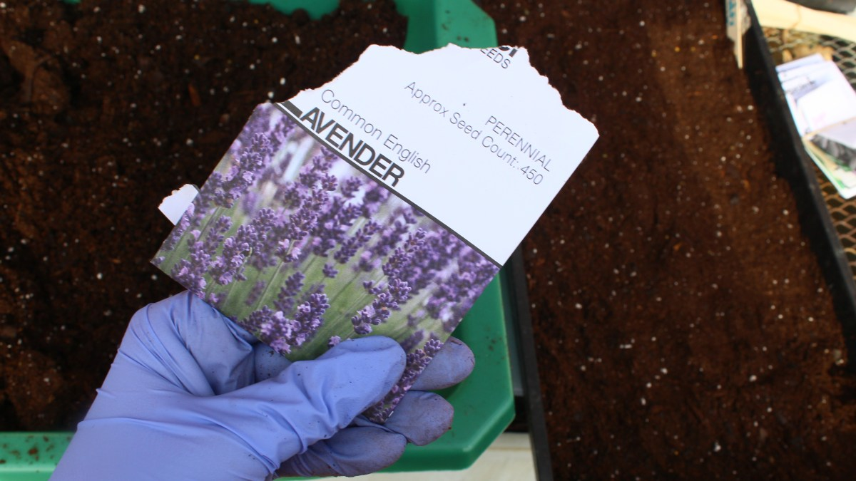 Winter Sowing Lavender Seeds in Zone 6/7