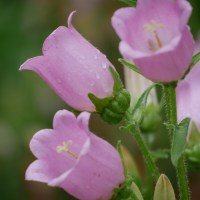 Growing Canterbury Bells Flowers from Seed - Cut Flower Garden