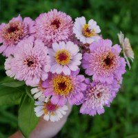 Growing Zinderella Zinnias in the Cut Flower Garden