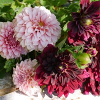 Dark Dahlia Flower Arrangement - Cut Flower Garden