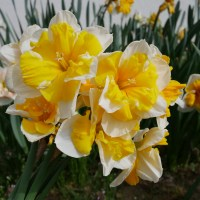 My First Foray into Split Corona Daffodils