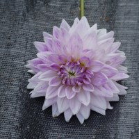 The Changing Beauty of BJ's Dusty Rose Dahlia