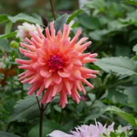 Terracotta Dahlias in the Cutting Garden