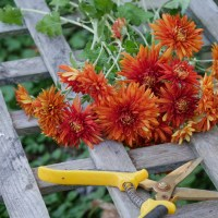 'Paint Box' Chrysanthemums: The Perfect Fall Color Cut Flower