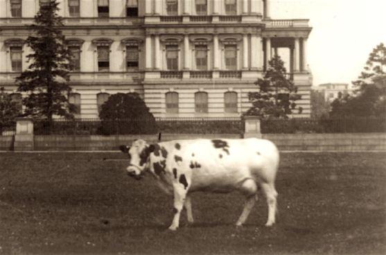 taft-cow