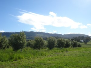 Olive grove after rains