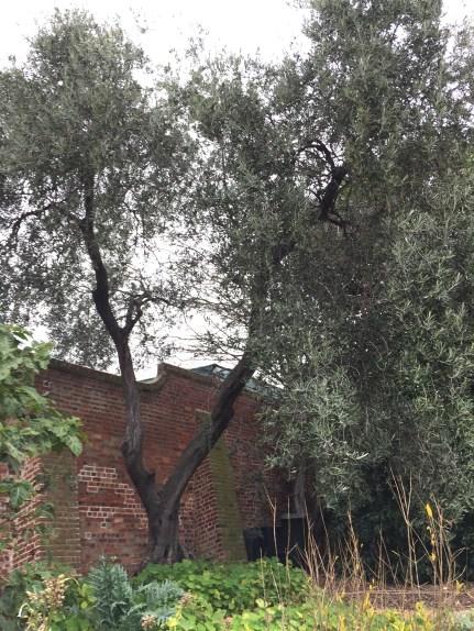 Big old olive tree