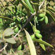 2017-01-23-med-olive-2