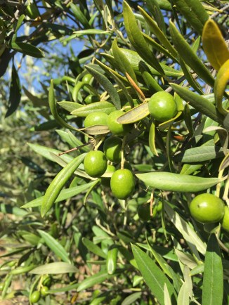 Manzanillo olives