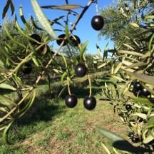 freshfield grove olive harvest 2017 olives