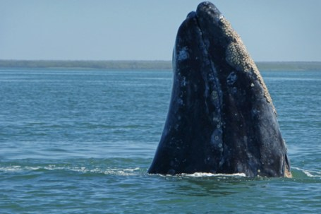 Grey whales surrounded our whale watch panga in Magdalena Bay.