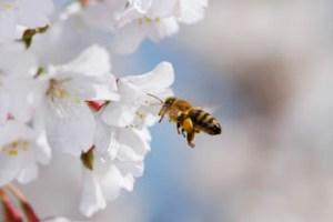 Manuka Flowers + Bee