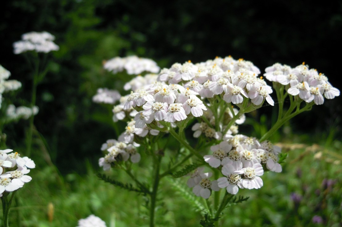 Yarrow Herb, Remedies from the Fields