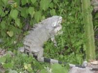 An iguana chilling out at Kokomo beach