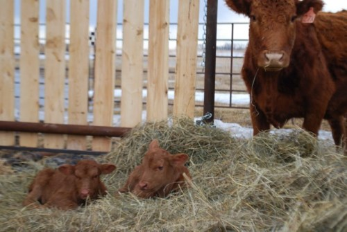 cow and twins