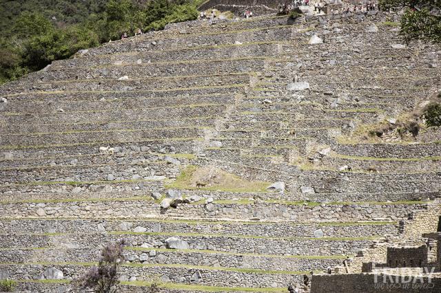 Grazing LLamas of Machu Picchu