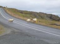 Schafe haben Vorfahrt! (hier auf der 85 bei Þórshöfn)