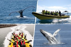 Whale watching in a RIB boat