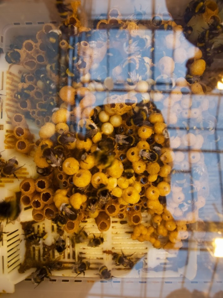 Bumble bees in tomato green house, Iceland