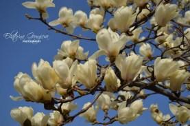 Цветове на магнолия / Magnolia