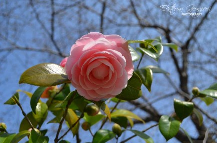 Розова камелия /Pink Camellia