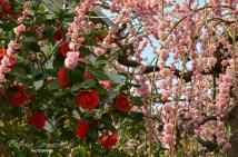 Камелия и японска слива / Camellia and Japanese plum ume