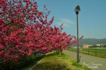Ранна сакура в квартала / Early sakura in my neighbourhood