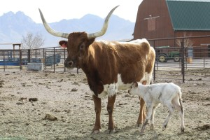 Longhorn with calf with mountains in the background