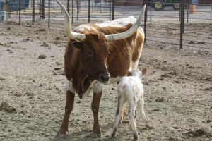 Longhorn cow with calf