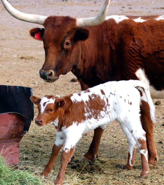 Longhorn with calf