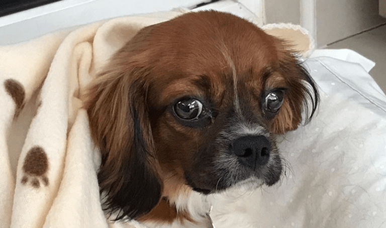 Rehomed Honey – 6 month old Cavalier King Charles Spaniel