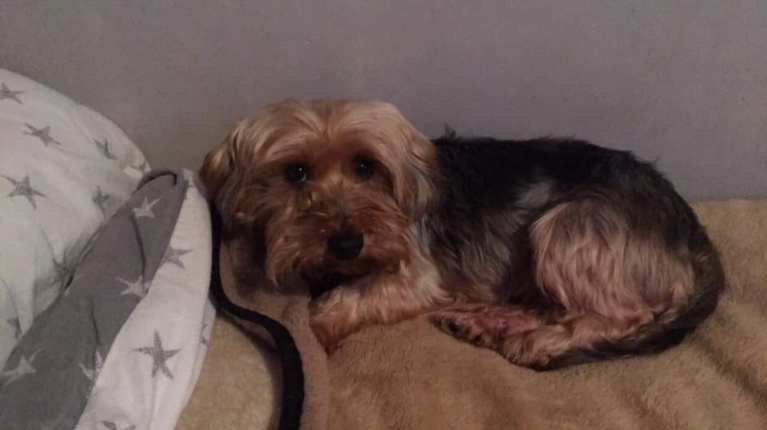 Charlotte – 5 year old Yorkshire terrier