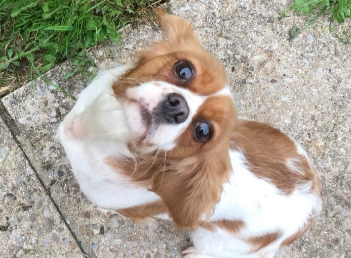 Rehomed Jennie – 3 year old Cavalier King Charles – West Midlands