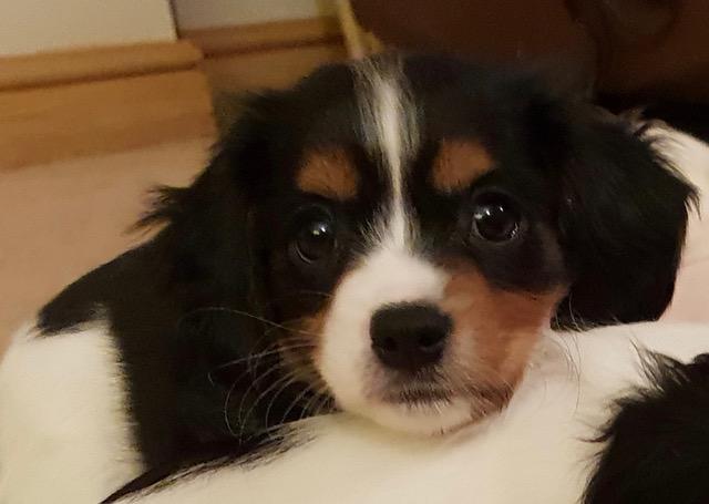 REHOMED Jazz – 9 week old Cavalier puppy