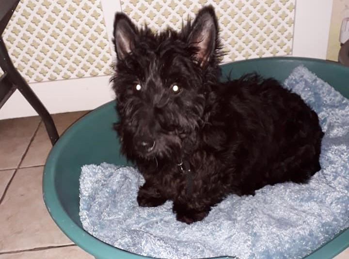 Rehomed Camilla – 7 year old – Scottish Terrier