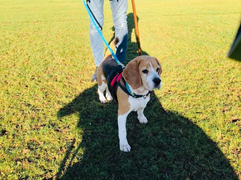 Rehomed Jess 5-year old Beagle