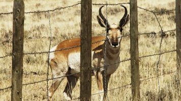 Fence blocks pronghorn