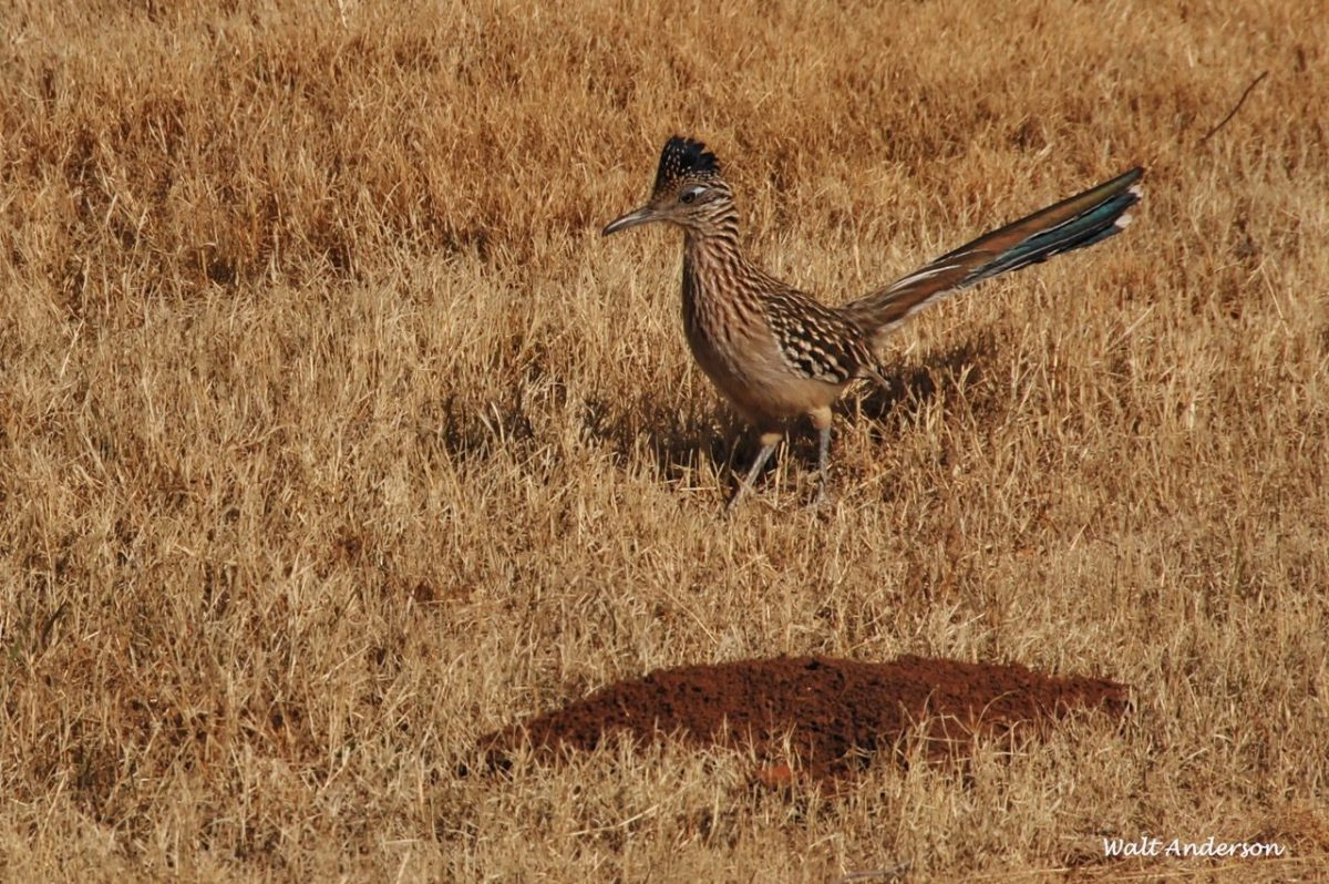 Greater Roadrunner at BANWR