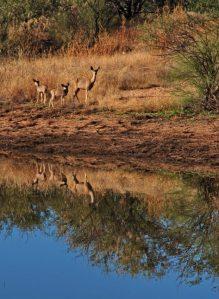 Mule Deer reflections, BANWR, AZ