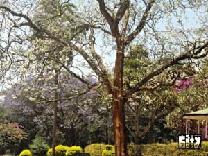 White Jacaranda at City Park